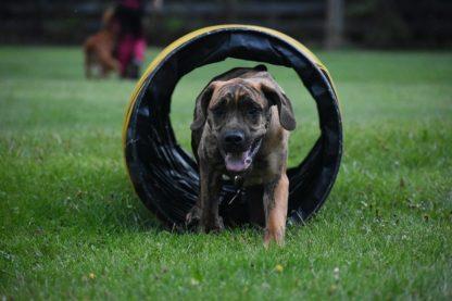 Dog Agility Training Prince George